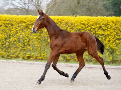 Son of olympic mare carlina iv
