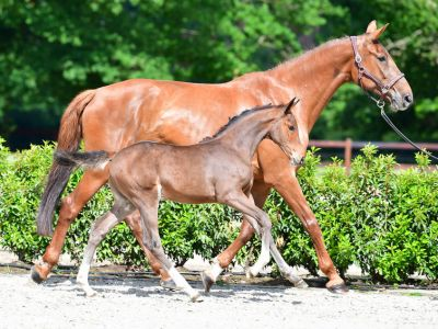 Charcolle z in foal to solid gold z + filly by columbus z